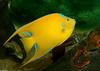 Queen Angelfish (Holacanthus ciliaris)1000