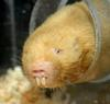 Damaraland Mole-rat (Cryptomys damarensis)