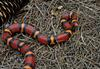 Unusually Colored Scarlet Kingsnake