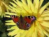 Peacock Butterfly - Inachis io, Papillon, Vlinder