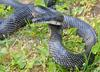 Snakes - Black Ratsnake (Elaphe obsoleta obsoleta)001
