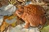 Frogs and Toads - American Toad (Bufo americanus)1