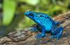 Frogs and Toads - Blue Poison Dart Frog (Dendrobates azureus)1