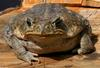 Frogs and Toads - Cane Toad (Bufo marinus)347