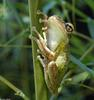 Frogs and Toads - Cuban Treefrog (Osteopilus septentrionalis)035