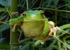Frogs and Toads - Gaint or White-lipped Treefrog (Litoria infrafrenata)