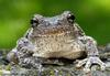 Frogs and Toads - Gray Treefrog (Hyla versicolor)498