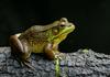 Frogs and Toads - Northern Green Frog (Rana clamitans melanota)
