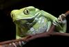Frogs and Toads - Waxy Monkey Frog (Phyllomedusa sauvagii)