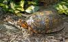 Turtles - Eastern Box Turtle (Terrapene carolina carolina)0068b