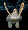 Turtles - Loggerhead Sea Turtle (Caretta caretta caretta)60