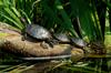 Turtles - red-eared-sliders