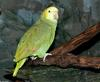 Birds - Double yellow-headed Amazon Parrot (Amazona oratrix)001