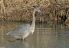 Birds - Great Blue Heron1001-1024