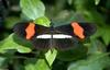Invertebrates - Crimson-patched Longwing (heliconius erato)002