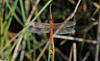 Invertebrates - Needham's Skimmer (Libellula needhami)