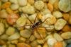 Invertebrates - Six-spotted Fishing Spider (Dolomedes triton)005