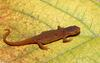 Red-spotted newt eft1