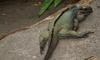 (Animals from Disney Trip) Rhinoceros Iguana