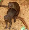 Ruddy mongoose Copulating pair
