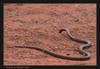 Mulga snake (King Brown Snake)