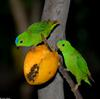 Some Birds - Blue-crowned Hanging-parrot (Loriculus galgulus)03