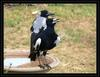 So hot... (Australian Magpies)