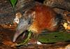 New Shrew-Like Mammal Discovered in Tanzania [Discovery 2008-01-31]