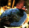 Crested wood partridge (Rollulus rouloul)