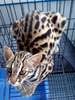 Prionailurus Bengalensis Chinensis[Chinese Leopard Cat]