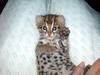 Asian Leopard Cat[Prionailurus Bengalensis Chinensis] cub