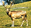 Père David's deer (Elaphurus davidianus)