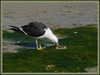 Garbage disposal - Pacific Gull (Larus pacificus)