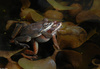 Wood Frogs(Lithobates sylvaticus)-in-Amplexus01