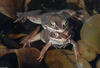 Wood Frogs(Lithobates sylvaticus)-in-Amplexus02