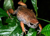 Hidden treasures of Tanzania: Rain Frog, Callulina sp. [BBC 2008-04-17]
