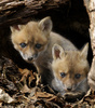 Red Fox (Vulpes vulpes) pups