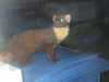 what is this --> Beech marten (Martes foina)