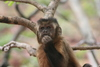 The symbolic monkey? Token-mediated economic choices in tufted capuchins [EurekAlert 2008-06-10]