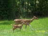 Axis Doe and Fawn - Chital (Axis axis)