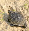 Northern Diamond-backed Terrapin (Malaclemys terrapin terrapin)
