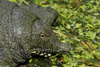 Chinese Soft Shelled Turtle (Pelodiscus sinensis)