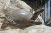 Indian flapshelled Turtle (Lissemys punctata)