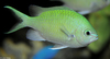 Blue Green Chromis (Chromis viridis)