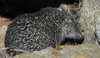 Greater Madagascar Tenrec (Setifer setosus)