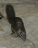 Northern Tree Shrew (Tupaia belangeri)