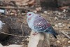 Speckled pigeon (Columba guinea)