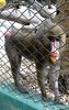 What type of monkey is this --> Mandrill (Mandrillus sphinx)