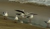 Image of: Larus brunnicephalus (brown-headed gull)