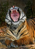 Misc. Cats - tiger yawn105